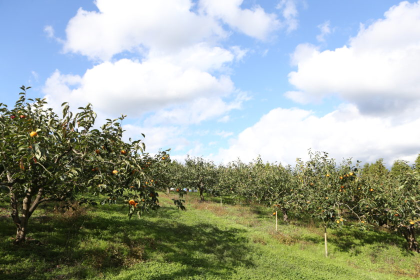 Visit a place where delicious fruits are grown (persimmon farm)