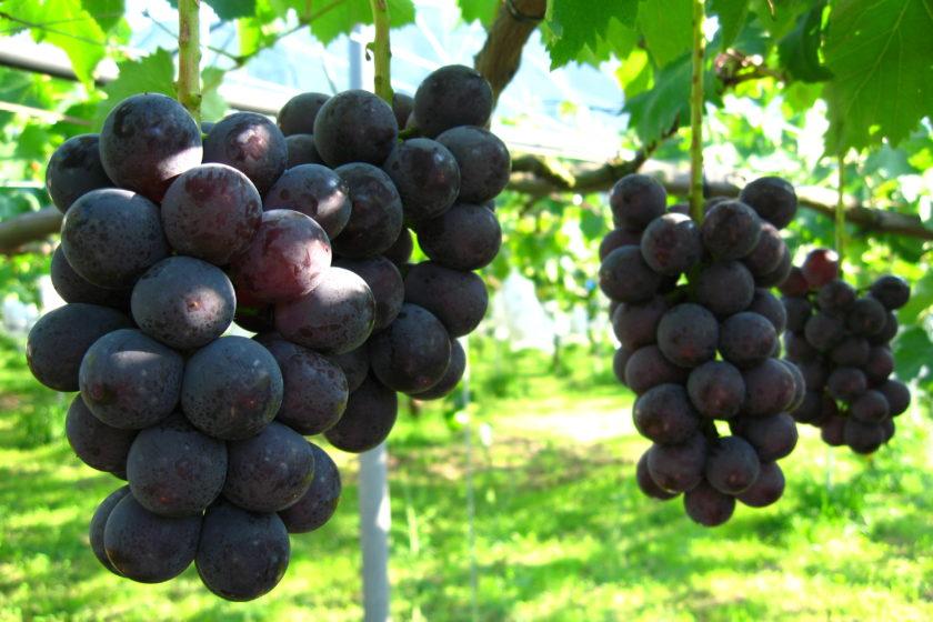 Seasonal grapes