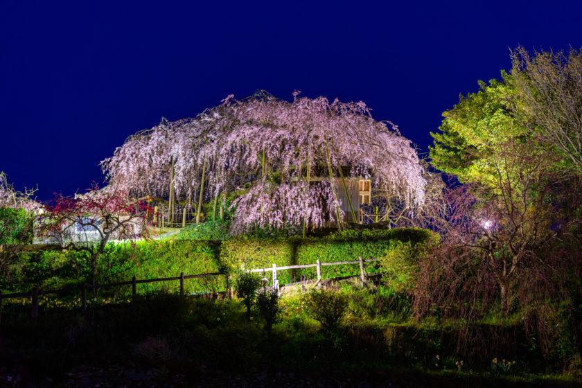 Weeping cherry in Ishidatami-Higashi